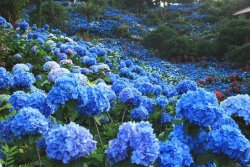 yohena-hydrangea-garden.jpg