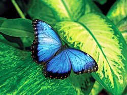 butterfly-moth-blue-Lepidoptera-insect.jpg