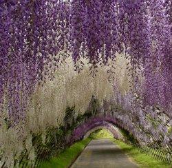 011.-wisteria-tunnel-japan-610x595.jpg