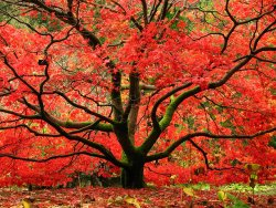 red-maple-parke-fall-trees-color-leaves.jpg