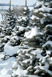 three-snow-covered-pine-trees-101176527.jpg