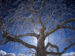 Weeping Higan Cherry Tree.jpg