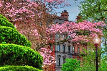 boston-public-garden-dogwood-trees-in-spring-joann-vitali.jpg