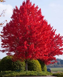 American-Red-Maple.jpg