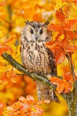 bird-orange-forest-yellow-leaves-long-eared-owl-orange-oak-leaves-autumn-wildlife-scene-fro-na...jpg