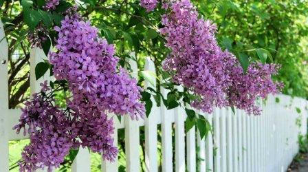 lilacs-over-the-fence-000058223420_medium.jpg