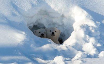 facts-about-polar-bears-4.jpg