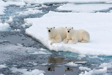 animals-polar-bears-body-temperatures-temperature-fluctuations.jpg
