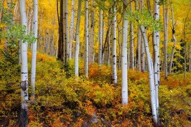 Colorado-Fall-Aspen-Trees-8066.jpg