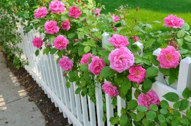 zone-7-rose.jpg