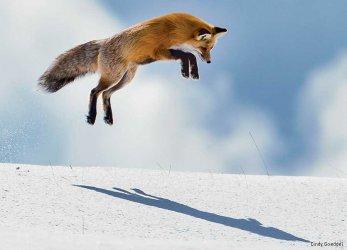 Fox-red-Yellowstone-CindyGoeddel-900x650.jpg